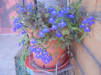 Покажете цветята във  вашата градинка... F2cd87d9514f38cce01f9dfc5cf134c0