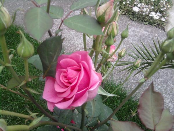Покажете цветята във  вашата градинка... Fe3cacbe68435d55f5e6fb577458964e