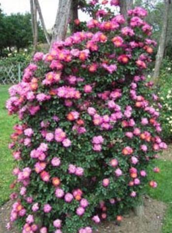 la rosa mas bella.... C27d8009fb65eceb5fb04b1950edf579
